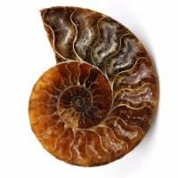 Poliertes und gesägtes Ammonitenfossil