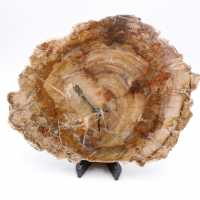Scheibe fossiles Holz