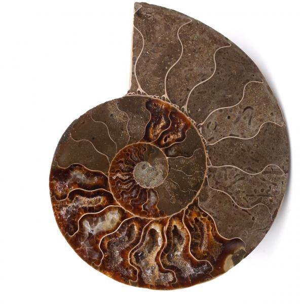 Ammonit fossil Doppelschnitt und poliert