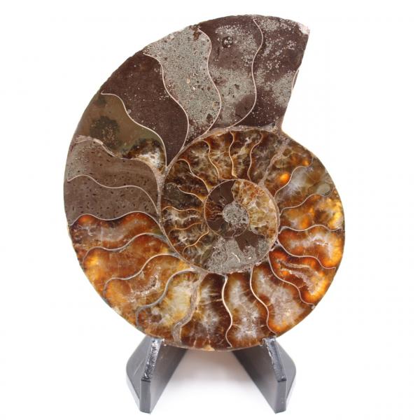 Poliertes Ammonitenfossil
