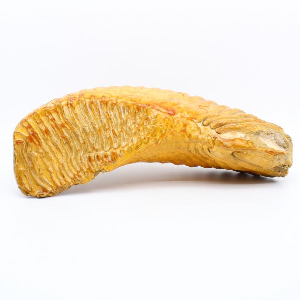 Mammut-Backenzahn