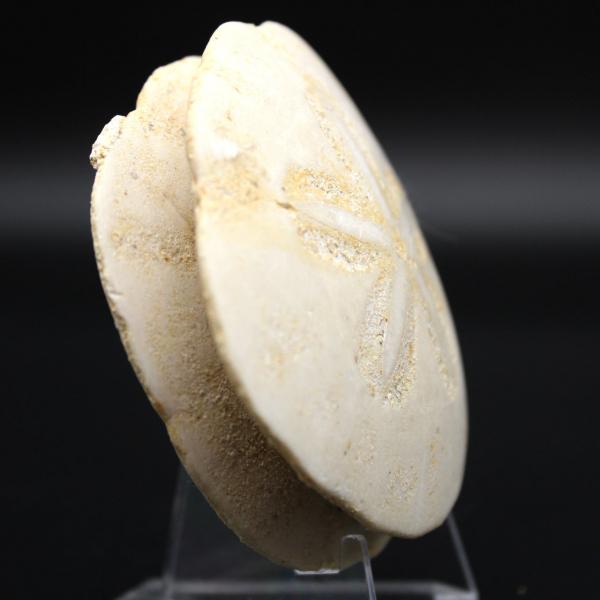 Scutella, fossiler Seeigel