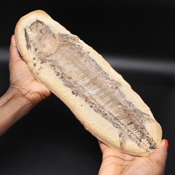 Großes Fischfossil